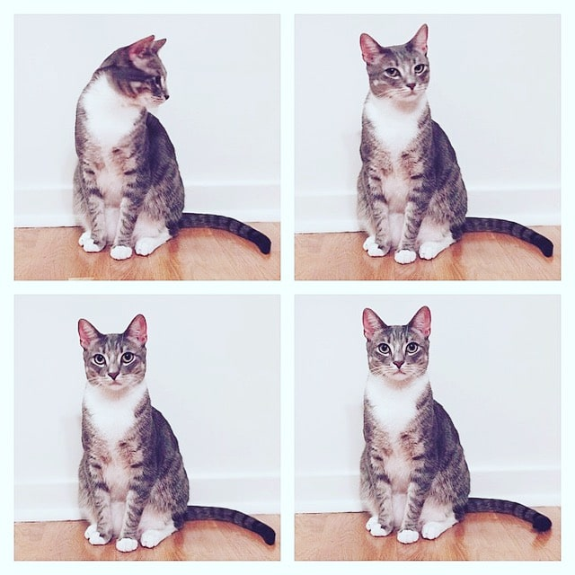 Four quadrants, each showing the light brown striped cat in a different adorable pose.