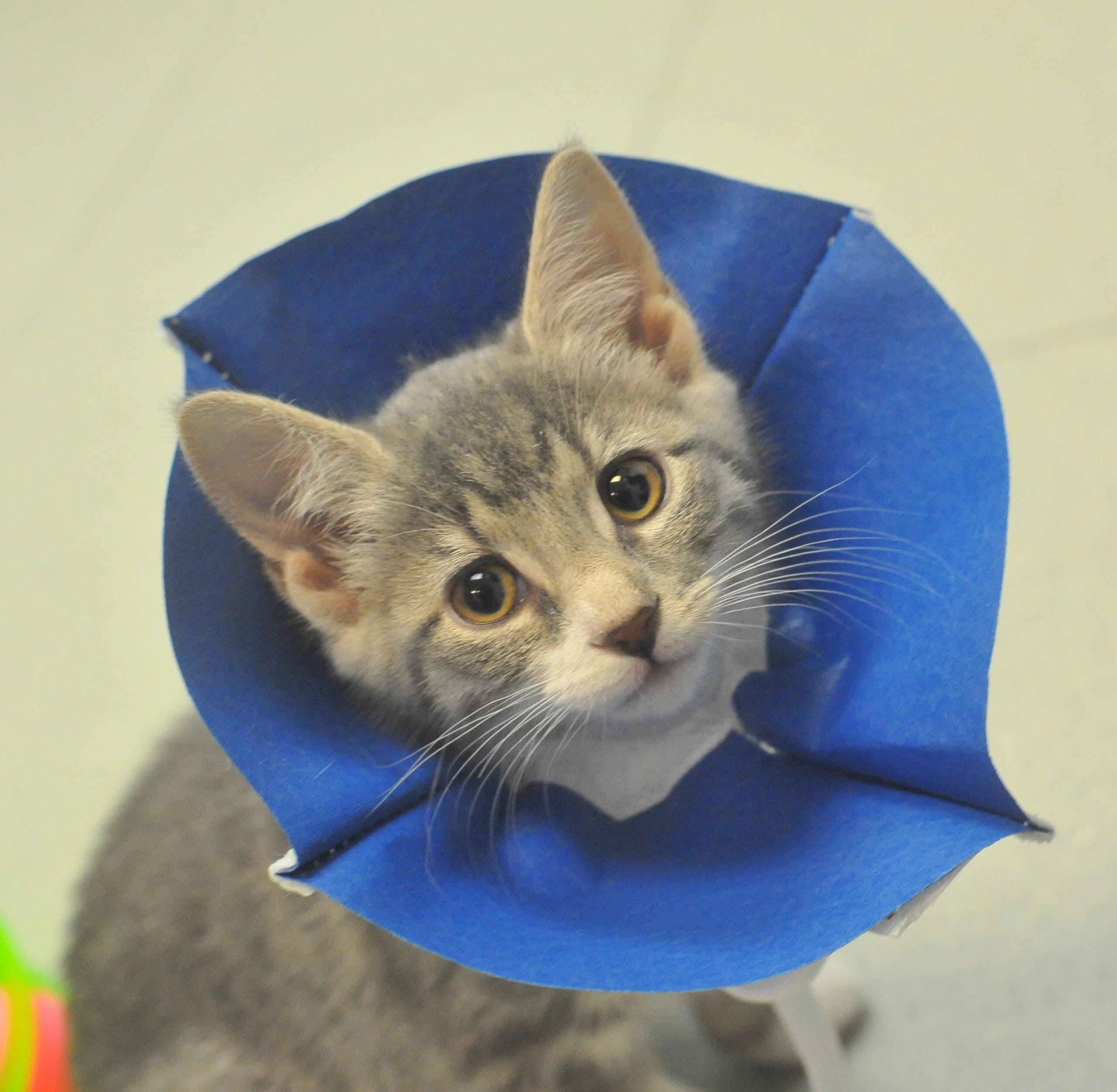 A young kitten with a blue cone around her neck.