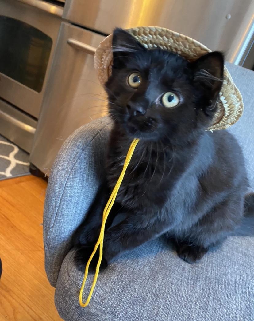 black kitten in hat